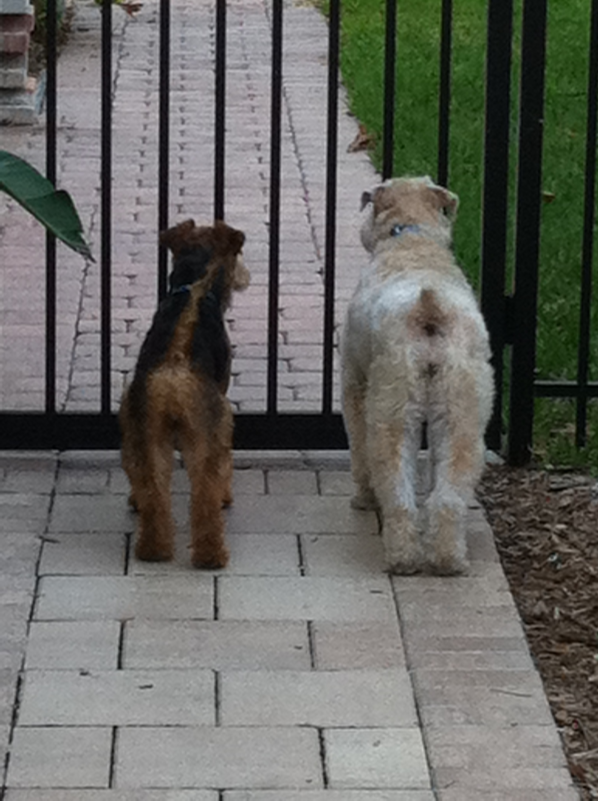 Welsh Terriers
