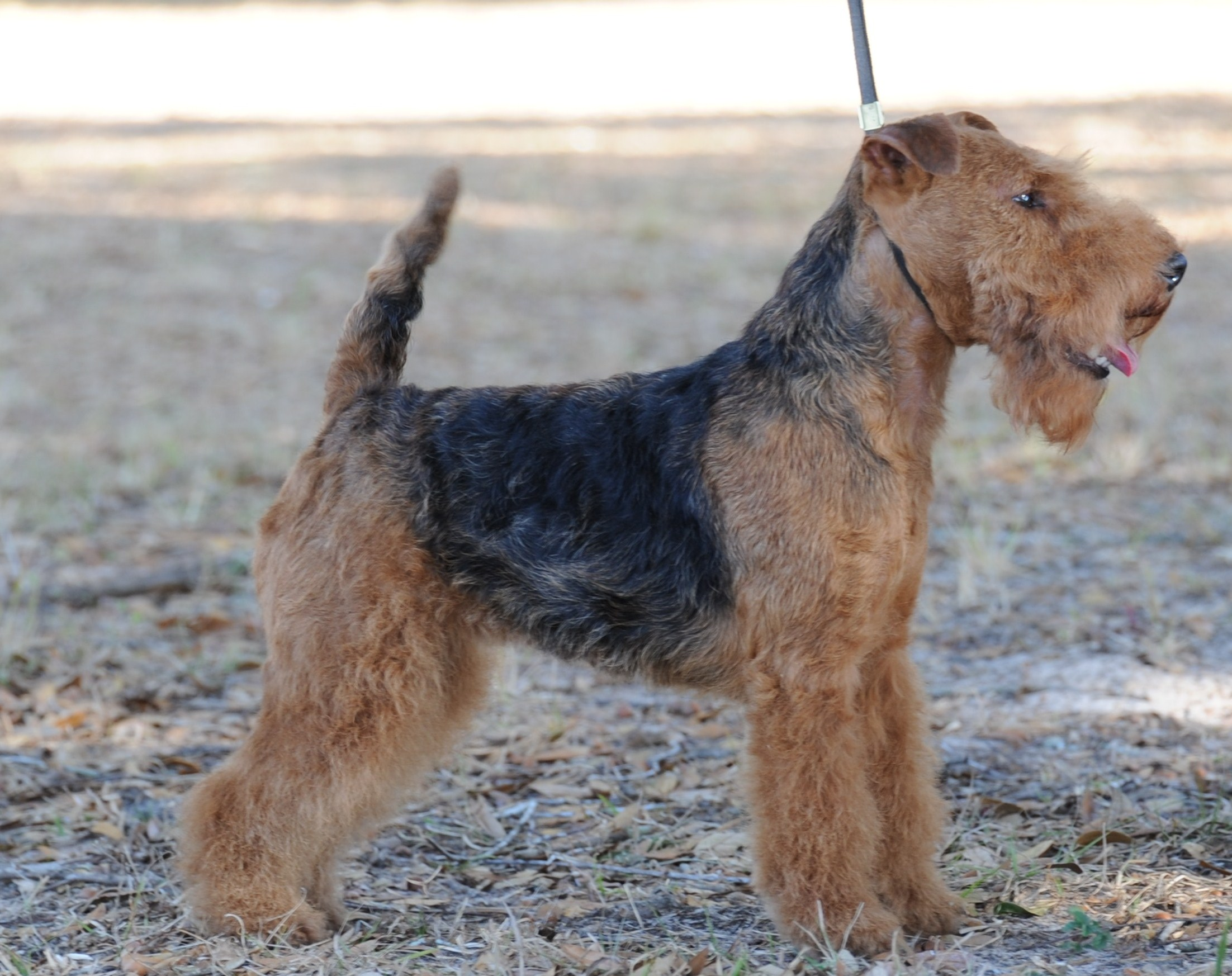 Seaplume Welsh Terriers
